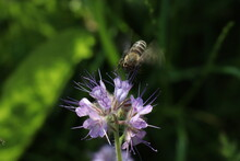 A Bee Flies Over A Phacelia Flower To Collect Nectar Green Backgound