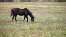 Dark Brown Horse Grazes In Russet Colored Pasture.