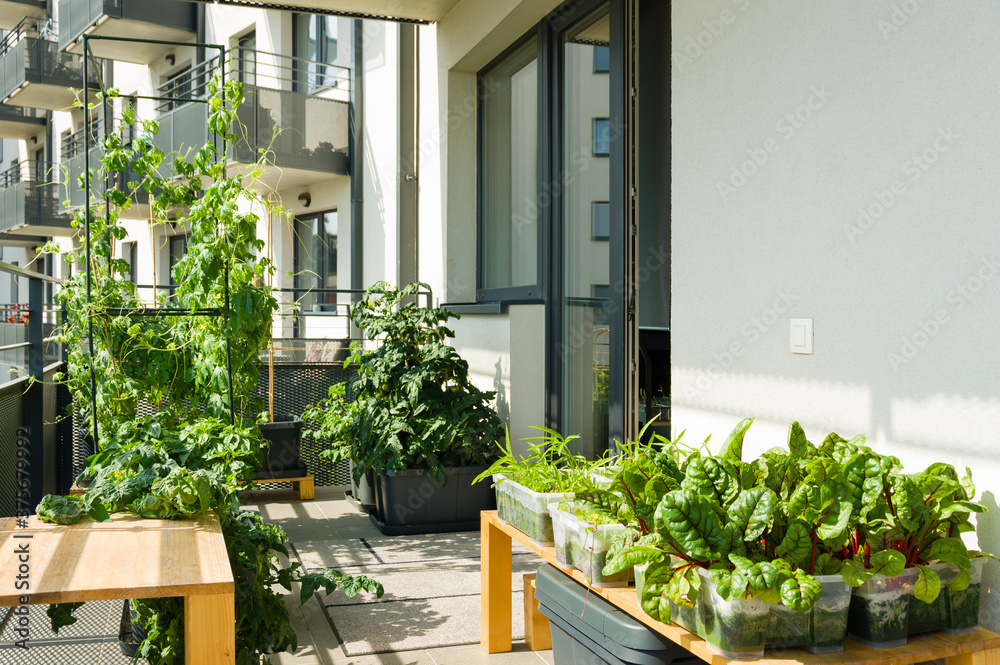 Fotografia Urban balcony garden with chard, kangkung and other easy to grow vegetables