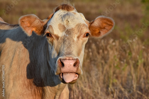 Fotografia, Obraz Cow Sticking its Tongue Out