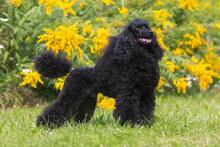 Standing Portrait Of Charming Amazing Small Poodle Outside On Hot Summer Day, With Show Curly Hair Cut. Smartest Dog Breed Medium Caniche Moyen  Portrait In Green Blooming Field With Yellow Flowers