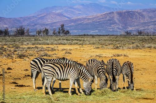 Slika na platnu A herd of Zebras (Equus zebra zebra) in a meadow. South Africa.