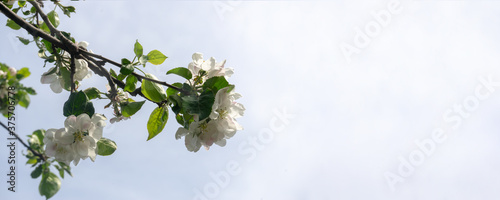 Papel de parede A branch of a blossoming apple tree against the blue sky