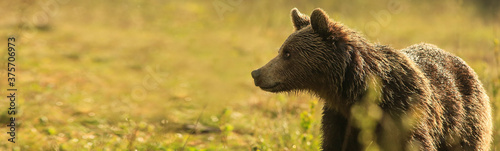 Brown Bear, (Ursus arctos), on the green meadow with copy space Canvas Print