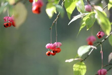 Euonymus Verrucosus Or Warty-barked Spindle. Ripe Pink Orange Poisonous Wild Berries On A Green Slightly Yellowed Branch Close-up In The Forest On A Sunny Last Day Of Summer. Sunny Autumn Nature.