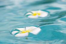 Two Pretty Tahitian Jasmine Flowers Floating In Tropical Island Turquoise Ocean Water
