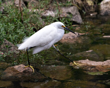 Snowy Egret Stock Photos. Beautiful White Fluffy Feathers Plumage. Stepping On Moss Rocks. Foliage Background. White Colour. Image. Portrait. Picture.