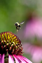 Bumblebee In Flight After Pollinating A Coneflower