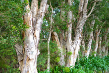 Broad-leaved Paperbark (Melaleuca Quinquenervia) As Background