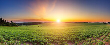 Soybean Field Ripening At Spring Season, Agricultural Landscape. Rows Of Green Soybean At Idyllic Sunset. Perfect Agriculture Fields As Industry Standard In Harvest Season. Bean Field Panorama