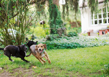Three Dogs Running One After The Other In Garden