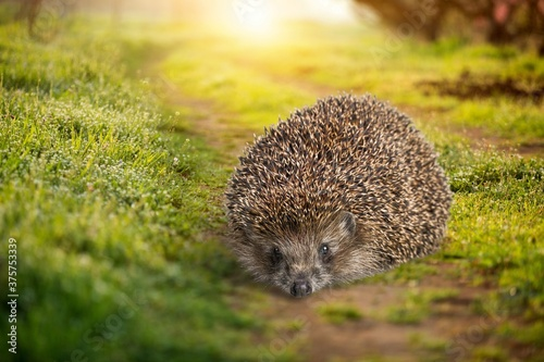 Fotografiet Hedgehog.
