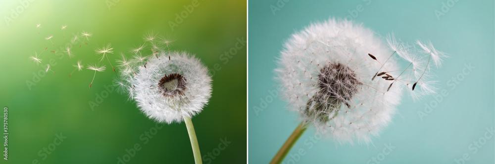 Fototapeta Dandelion, flower, nature, spring, green, grass, drops, dew, close up, Löwenzahn, Blume, Natur, Frühling, Grün, Gras, Tropfen, Tau, Nahaufnahme,