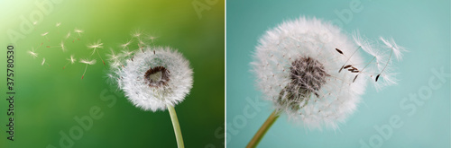 Dandelion, flower, nature, spring, green, grass, drops, dew, close up, Löwenzahn Fototapeta