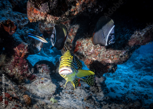 Papel de parede A direct look into the full face of a curious Sweetlips Fish and couple of Colla