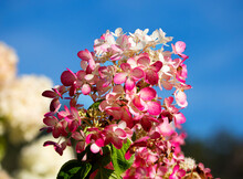 Hydrangea Or Hortensia Flowers In The Garden. It Has The Most Intense Red Color Of Paniculate Hydrangeas. Flowering Begins In Late June And Continues Until September.