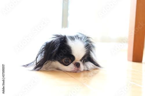 Foto 日本犬の狆