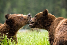 Closeup Of Grizzly Bears Playi...