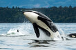 Bigg's orca whale jumping out of the sea in Vancouver Island, Canada
