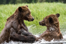 Grizzly Bears Playing Together In Water In The Khutzeymateen Grizzly Bear Sanctuary, Canada