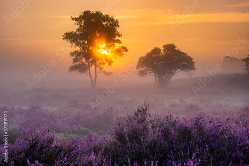 Obraz Blooming heather field in the Netherlands near Hilversum Veluwe Zuiderheide, blooming pink purple heather fields in the morniong with mist and fog during sunrise Netherlands Europe - fototapety do salonu