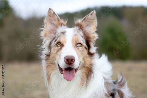 Foto Smiling charming adorable sable red merle and white border collie male outdoors portrait on spring time with park background