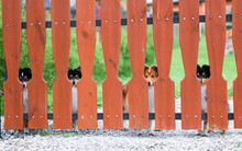 Small Guard Black Tricolors And Sable White Shetland Sheepdogs Shelties Looks Over The Wooden Fence In Zakopane.Little Collie Lassie Dogs Guard The House From Strangers On Summer With Green Background
