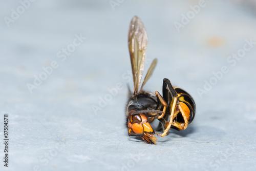 Photo Frelon asiatique tué par un apiculteur devant ses ruches