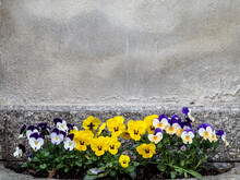 Different Colored Pansies Planted Before Stone Wall