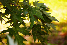 Beautiful Green Maple Leaves On A Tree On A Grass Overhang