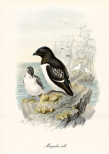 Black And White Plumage Sea Bird Little Auk (Alle Alle) On Rock And High Cliff On Background. Detailed Vintage Style Watercolor Art By John Gould Publ In London 1862-1873