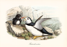 Sea Bird Atlantic Puffin (Fratercula Arctica) Bringing Food To Cub On Rock And High Cliff On Background. Detailed Vintage Style Watercolor Art By John Gould Publ. In London 1862-1873