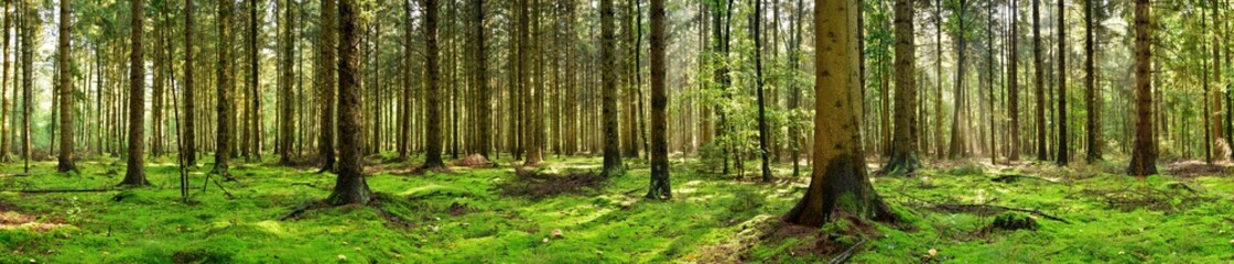 Panorama of a coniferous forest in the light of the morning sun