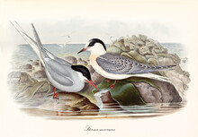 Couple Of Arctic Tern (Sterna Paradisaea) Birds On Sea Low Rocks Looking For Food. Detailed Vintage Watercolor Style Art By John Gould London 1862-1873