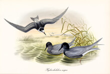 Black Tern (Chlidonias Niger) Birds Spreading Wings Landing And Floating On Green Pond Water. Detailed Vintage Style Watercolor Art By John Gould London 1862-1873