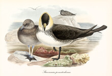Pomarine Jaeger (Stercorarius Pomarinus) Bird Facing Front Standing On One Leg. Another One Side By Side On Little Sea Rock. Detailed Vintage Style Watercolor Art By John Gould London 1862-1873