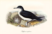 Black Bird With White Belly Zone Manx Shearwater (Puffinus Puffinus) Seated On Rock Looking Around Close To Cub. Detailed Vintage Style Watercolor Art By John Gould London 1862-1873
