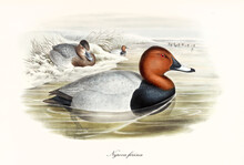 Aquatic Bird Common Pochard (Aythya Ferina) Floating In The Winter Water Of A Pond With Snowed Shores. Profile View. Detailed Vintage Watercolor Style Art By John Gould Publ. In London 1862-1873