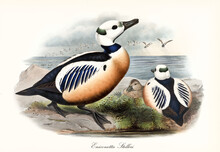 Aquatic Particularly Colored Plumaged Bird Steller's Eider (Polysticta Stelleri) Looking To The Top Right In Profile View While A Flock Flights Over The Sea. Art By John Gould London 1862-1873