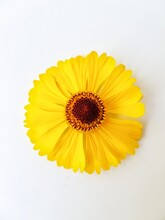Yellow Rudbeckia Flower Or Coneflower On A White Background With Green Leaves. Autumn Coneflowers. Background.