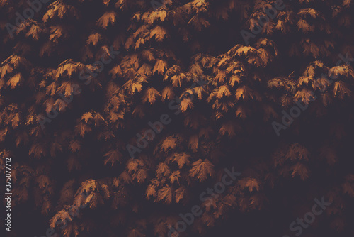 Autumn leaves of maple in the dark Wallpaper Mural