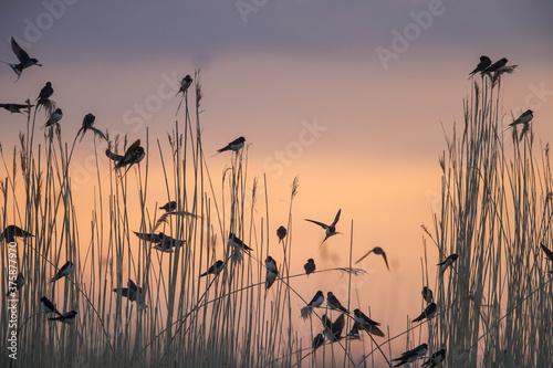 Group of migratory Barn Swallows preparing for communal roosting in reed bed Fotobehang