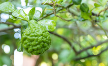 Kaffir Lime Fruit (bergamot) On The Tree