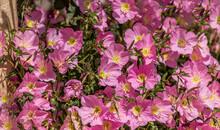 Background Of  Pink Evening Primrose Flowers