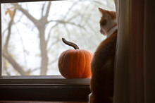 Adult Cat With Pumpkin Staring...