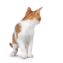 Cute Young Red With White Non Breed Cat, Standing Facing Front. Head Turned Looking Behind It. Isolated On A White Background.