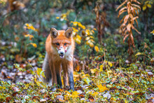A Red Fox Licks Its Lips And Goes Through The Autumn Forest.