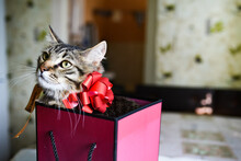 Funny Kitten In Pink Gift. Pink Gift Box In Which A Kitten Sits With A Red Bow. Accept Gifts Concept