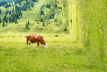 Brown Cow At Lunch On A Meadow...