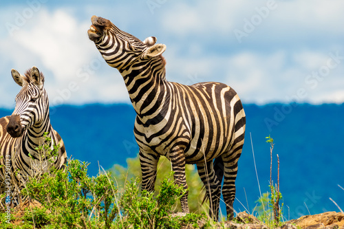 zebra in the wild Fototapet